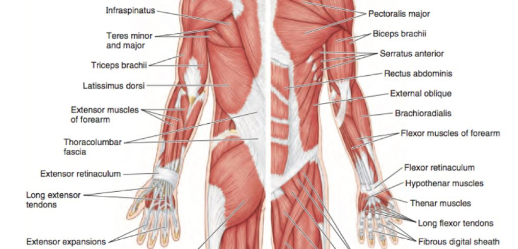 KO: Applied Anatomy Refresher: Upper Limb Anatomy & Injuries ...